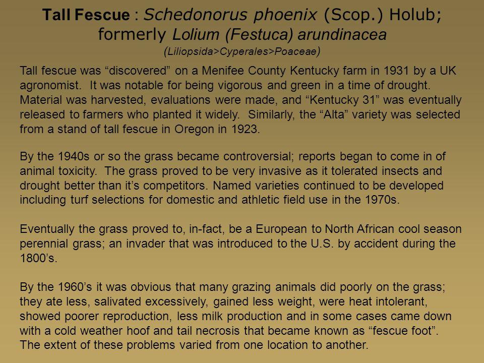 Tall Fescue : Schedonorus phoenix (Scop