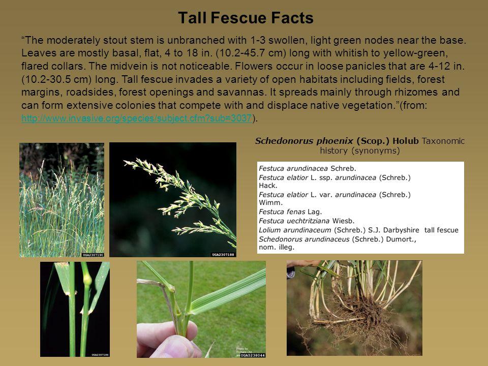 Schedonorus phoenix (Scop.) Holub Taxonomic history (synonyms)
