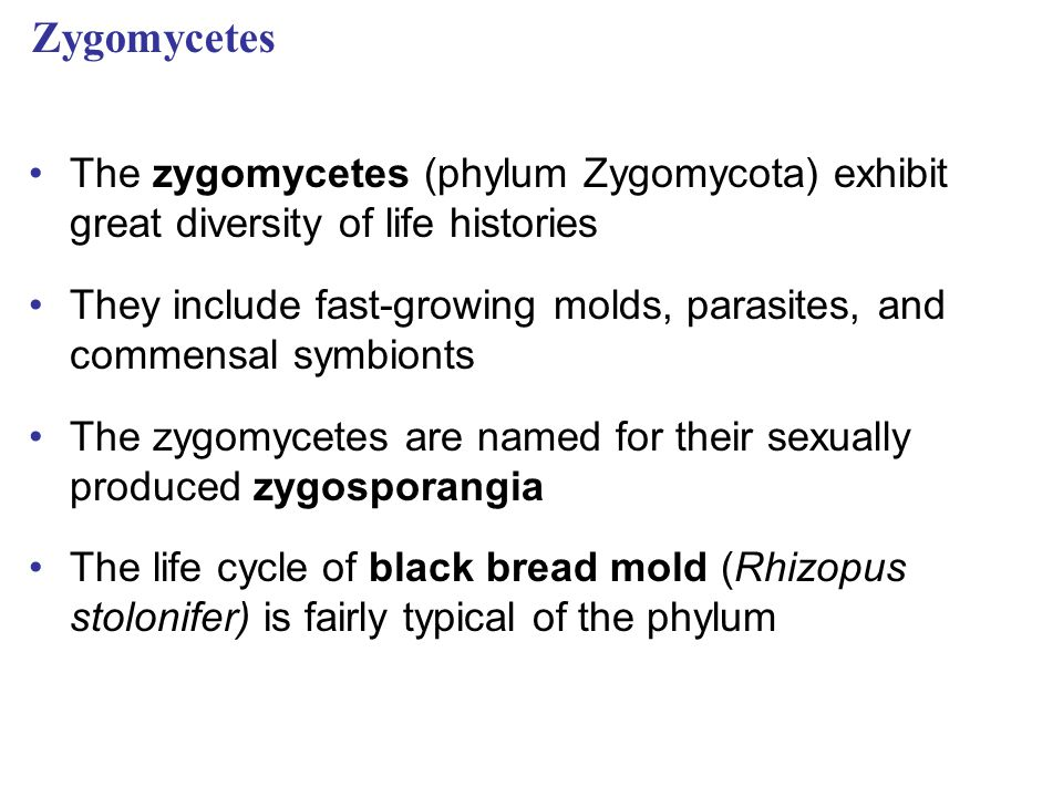 Zygomycetes The zygomycetes (phylum Zygomycota) exhibit great diversity of life histories.