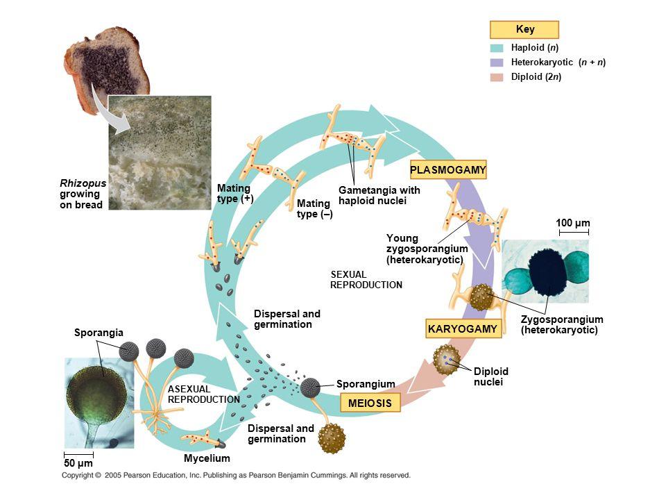 Key PLASMOGAMY 100 µm KARYOGAMY MEIOSIS