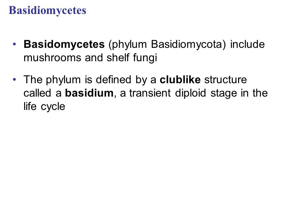 Basidiomycetes Basidomycetes (phylum Basidiomycota) include mushrooms and shelf fungi.