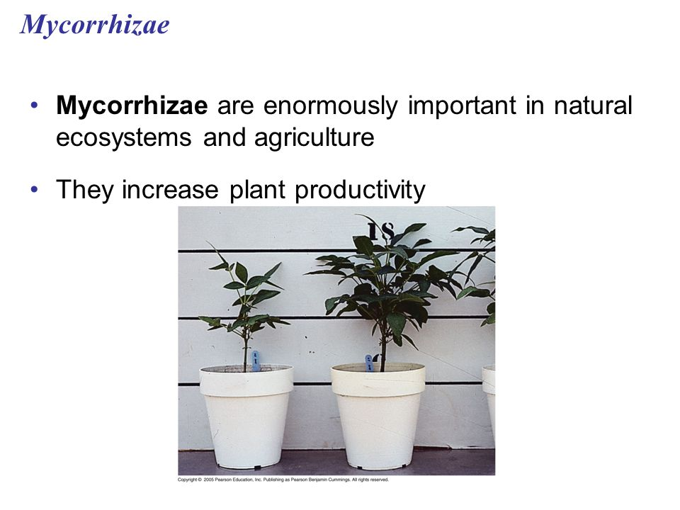 Mycorrhizae Mycorrhizae are enormously important in natural ecosystems and agriculture. They increase plant productivity.