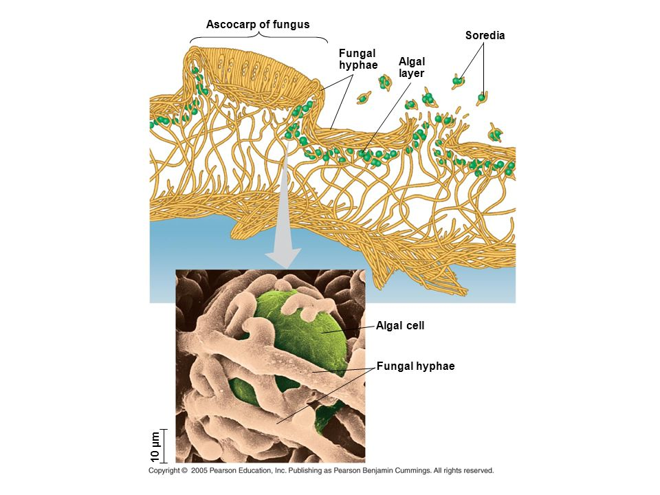 Ascocarp of fungus Soredia Fungal hyphae Algal layer Algal cell Fungal hyphae 10 µm