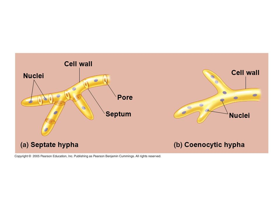 Cell wall Cell wall Nuclei Pore Septum Nuclei Septate hypha Coenocytic hypha