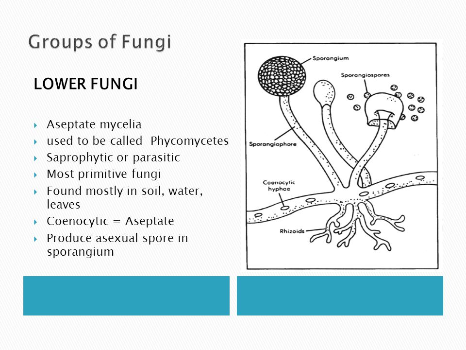 Groups of Fungi LOWER FUNGI Aseptate mycelia