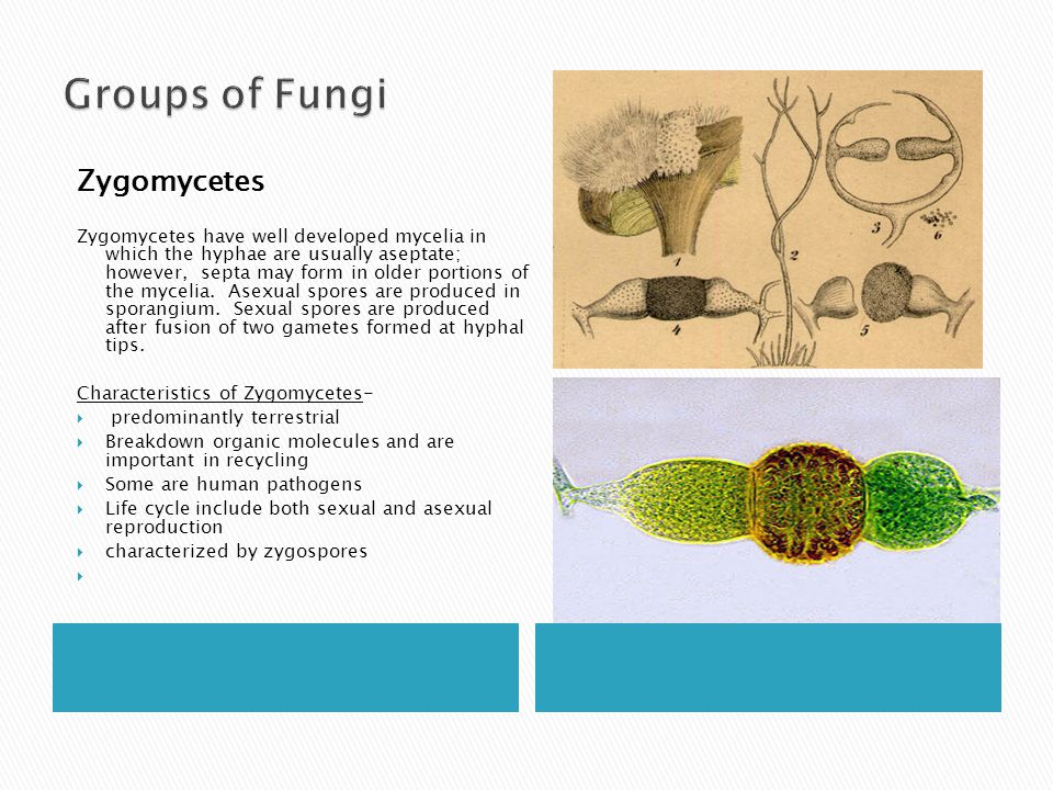 Groups of Fungi Zygomycetes