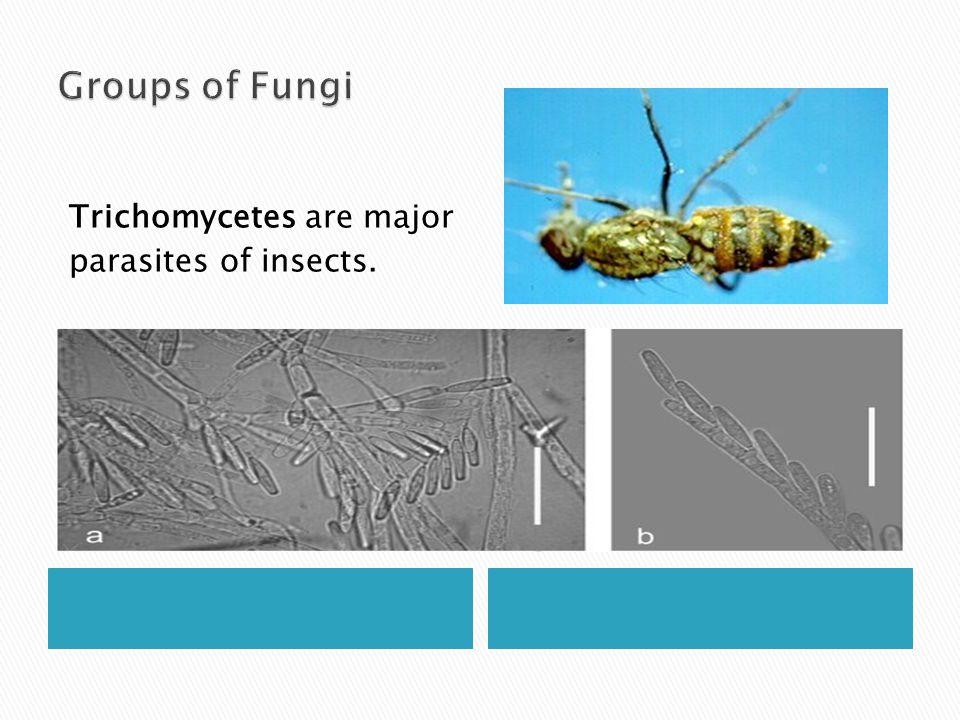 Groups of Fungi Trichomycetes are major parasites of insects.