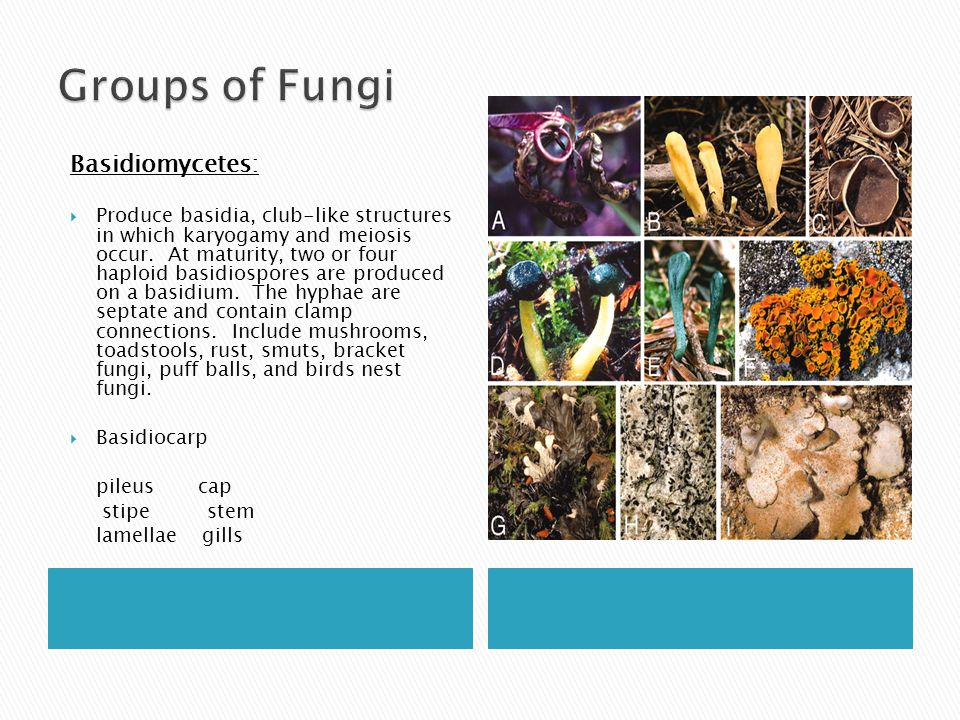 Groups of Fungi Basidiomycetes: