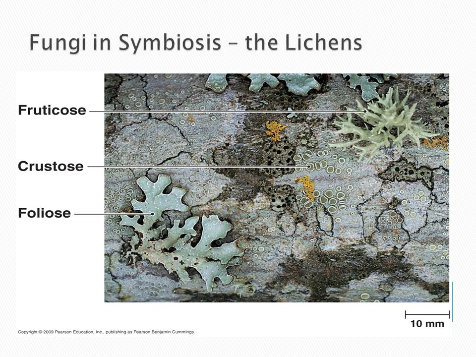 Fungi in Symbiosis – the Lichens