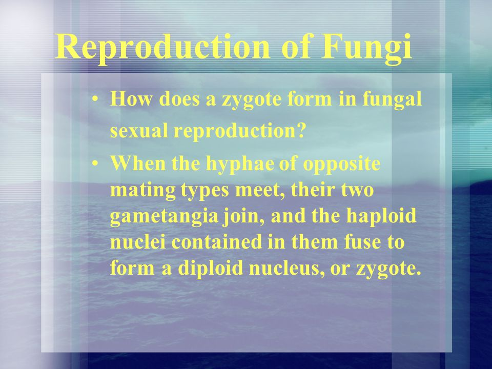 Reproduction of Fungi How does a zygote form in fungal sexual reproduction