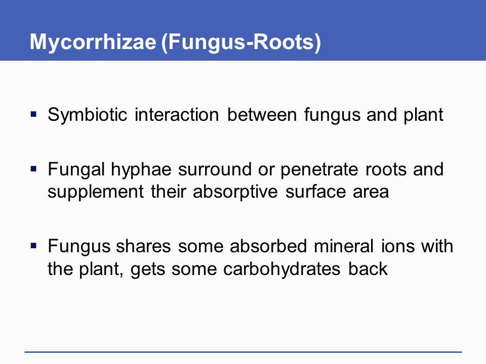 Mycorrhizae (Fungus-Roots)
