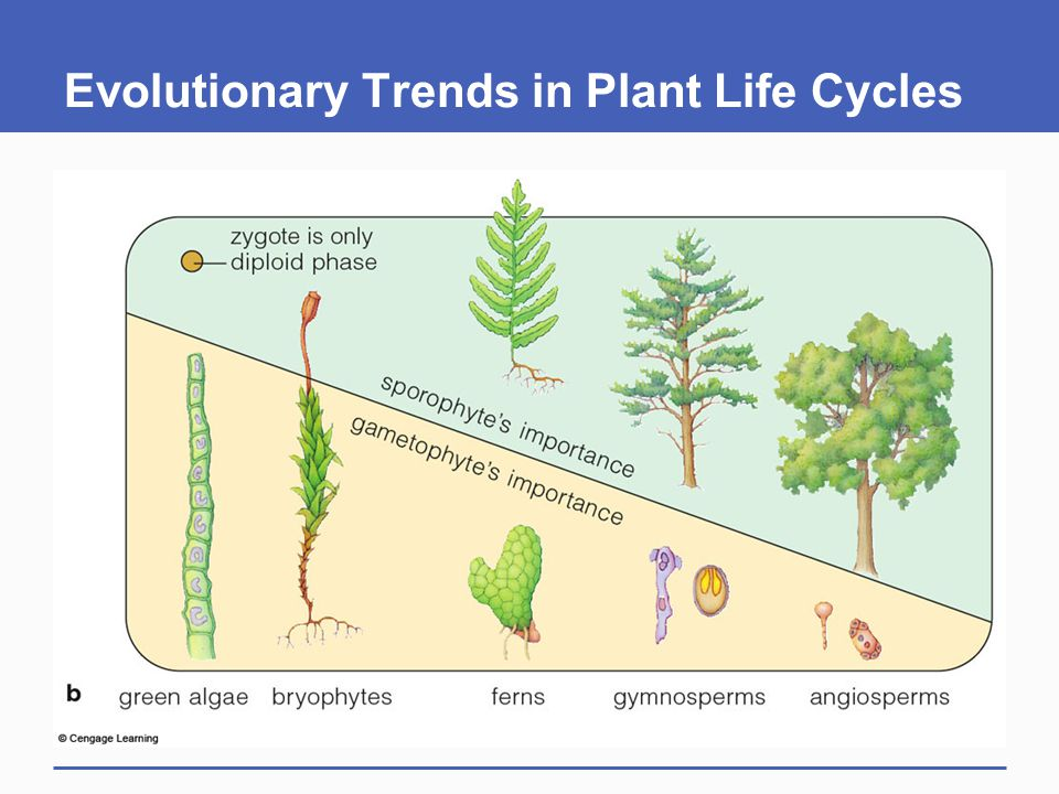 Evolutionary Trends in Plant Life Cycles