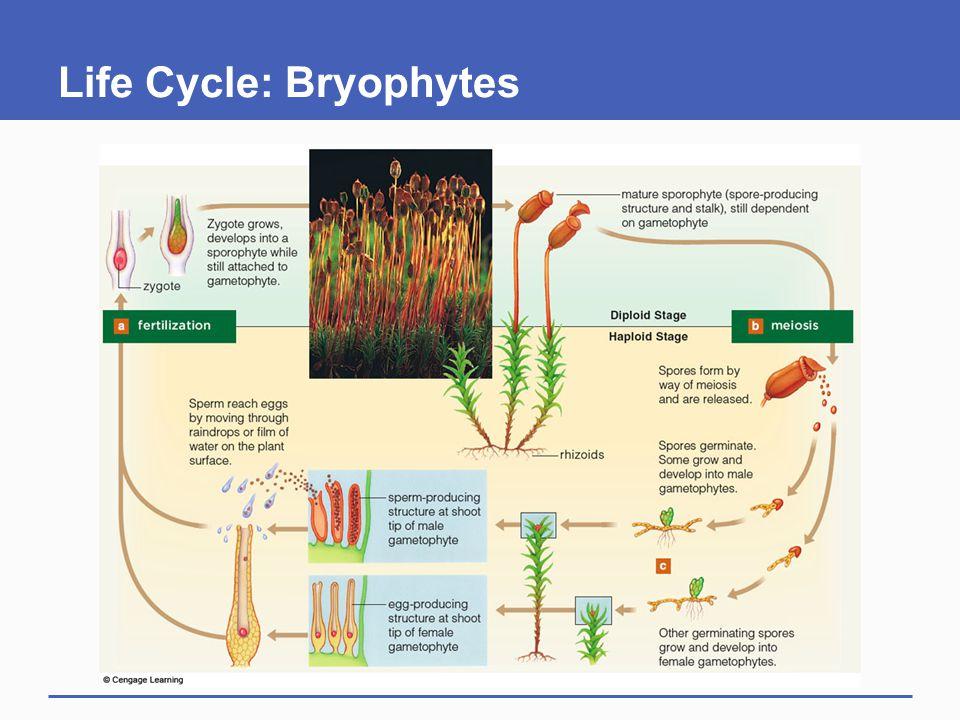 Life Cycle: Bryophytes