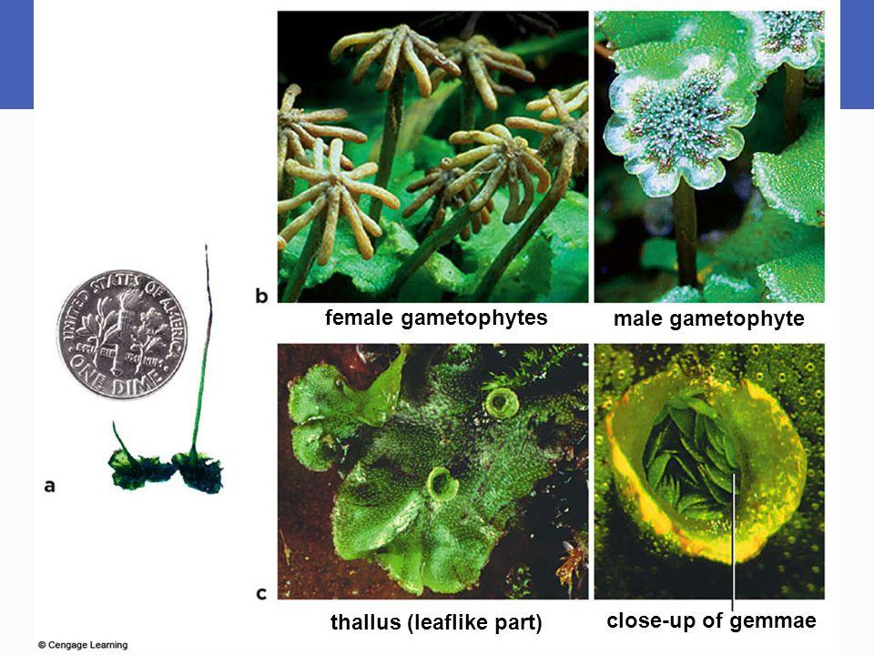 female gametophytes male gametophyte thallus (leaflike part) close-up of gemmae