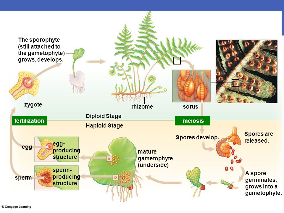The sporophyte (still attached to. the gametophyte) grows, develops. zygote. rhizome. sorus. Diploid Stage.