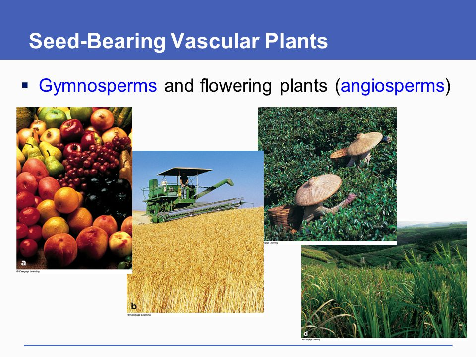 Seed-Bearing Vascular Plants