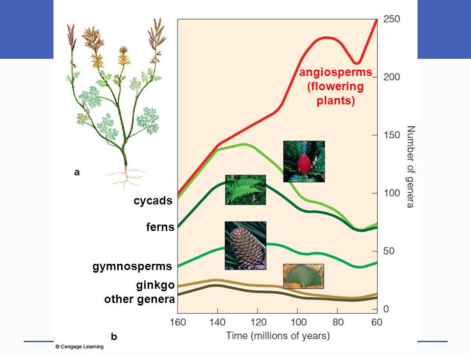 angiosperms (flowering plants) cycads ferns gymnosperms ginkgo other genera