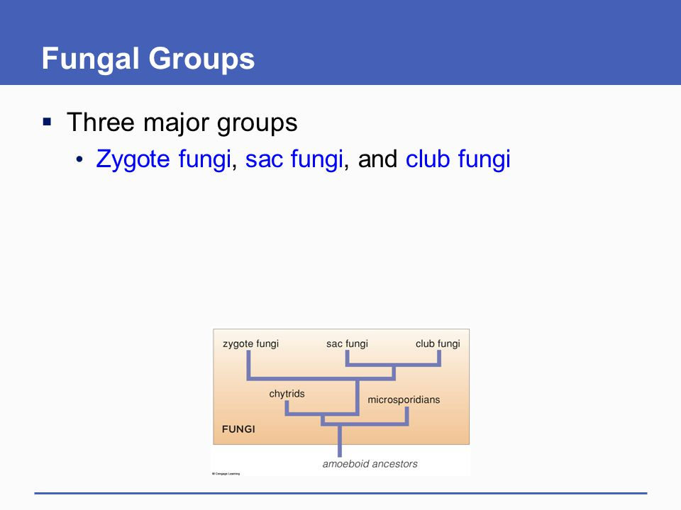 Fungal Groups Three major groups