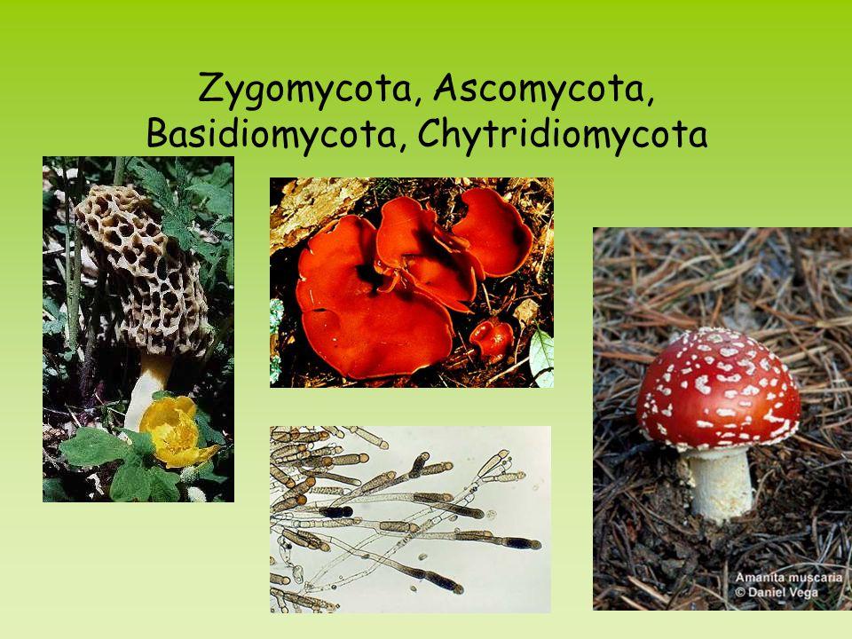 Zygomycota, Ascomycota, Basidiomycota, Chytridiomycota