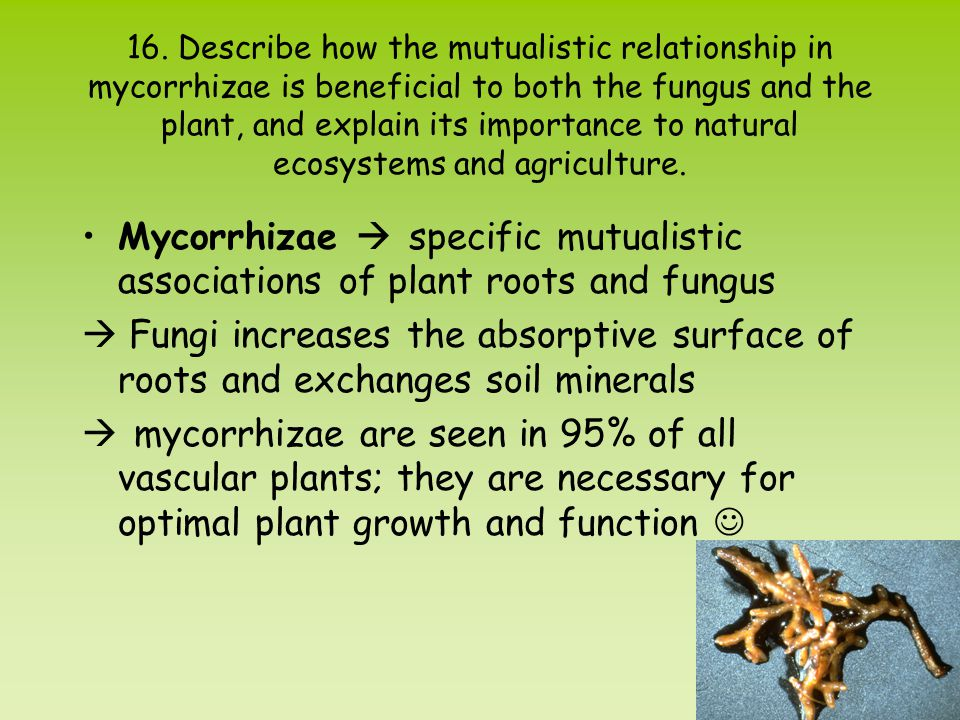 16. Describe how the mutualistic relationship in mycorrhizae is beneficial to both the fungus and the plant, and explain its importance to natural ecosystems and agriculture.