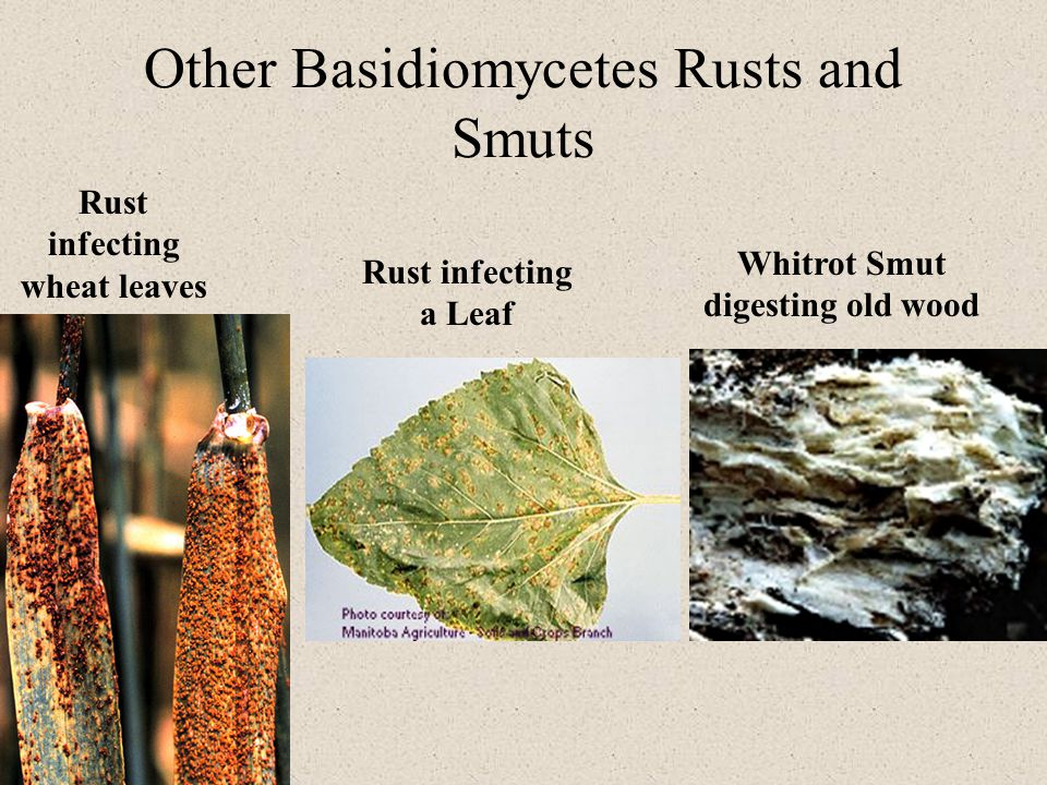 Other Basidiomycetes Rusts and Smuts