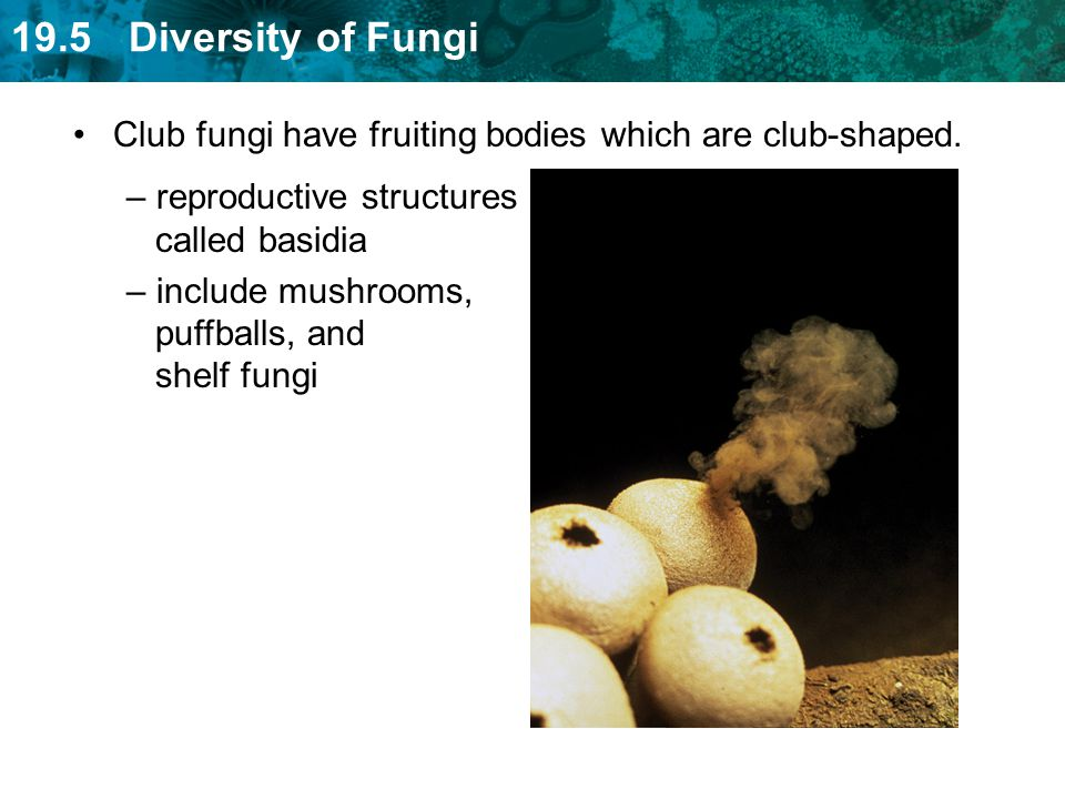 Club fungi have fruiting bodies which are club-shaped.