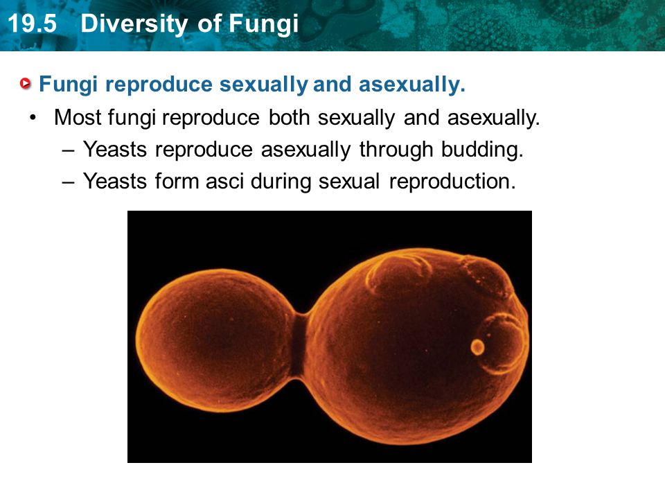 Fungi reproduce sexually and asexually.