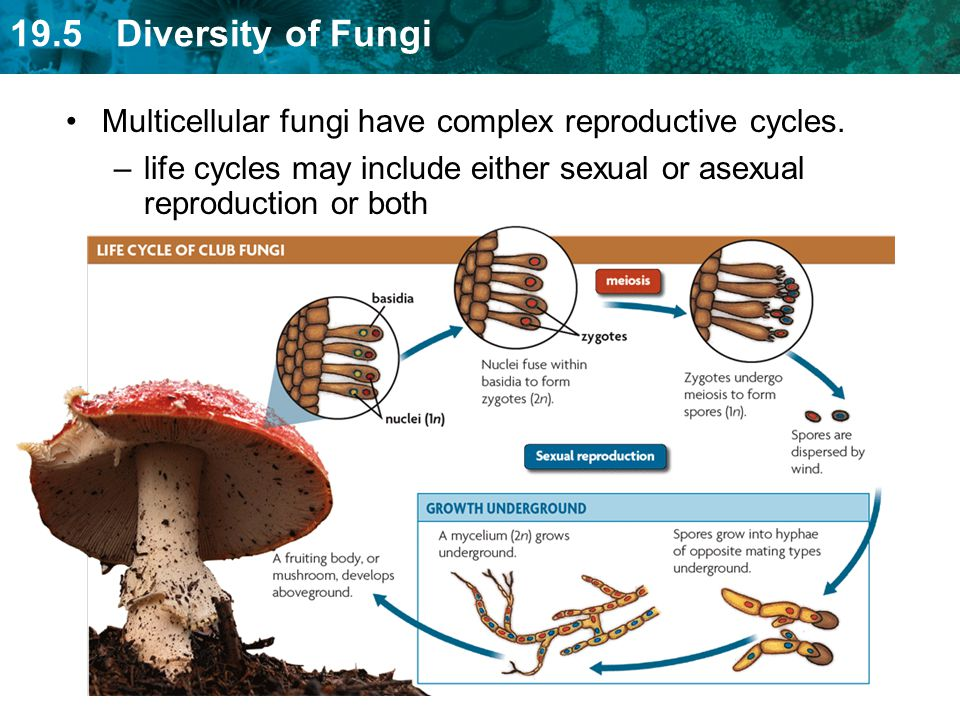 Multicellular fungi have complex reproductive cycles.