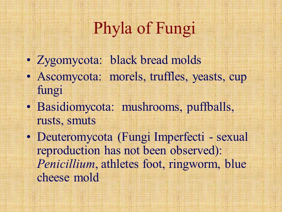Phyla of Fungi Zygomycota: black bread molds