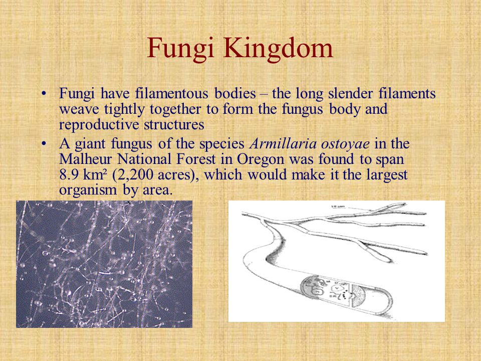 Fungi Kingdom Fungi have filamentous bodies – the long slender filaments weave tightly together to form the fungus body and reproductive structures.