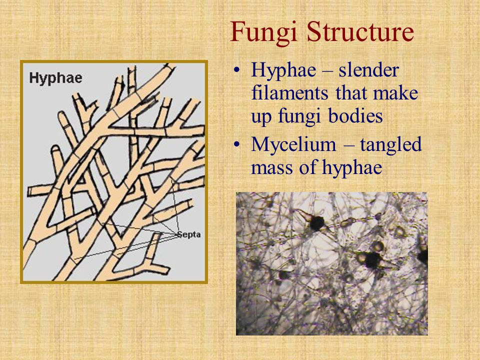 Fungi Structure Hyphae – slender filaments that make up fungi bodies