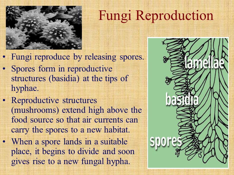 Fungi Reproduction Fungi reproduce by releasing spores.