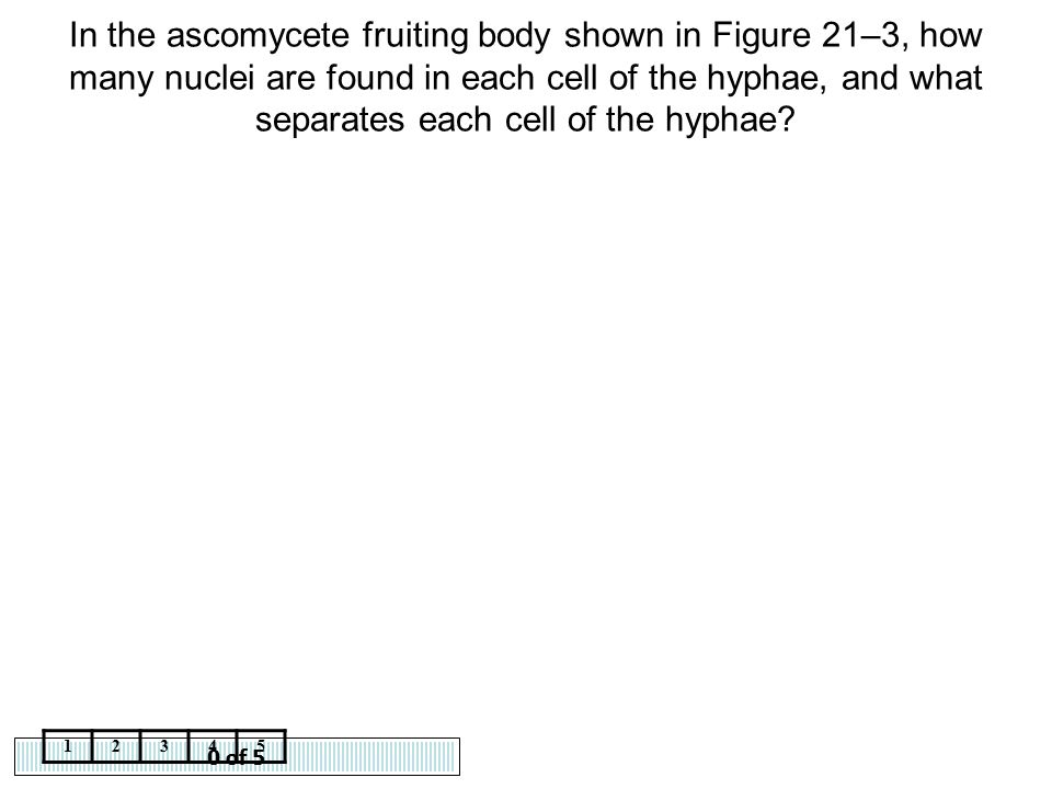 In the ascomycete fruiting body shown in Figure 21–3, how many nuclei are found in each cell of the hyphae, and what separates each cell of the hyphae
