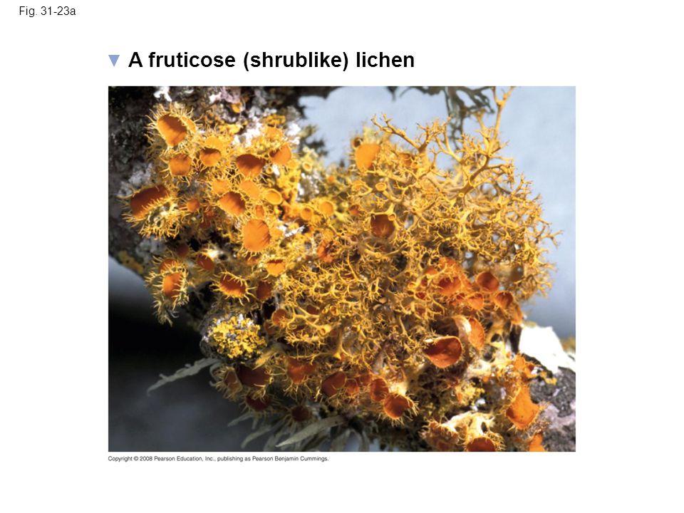 A fruticose (shrublike) lichen