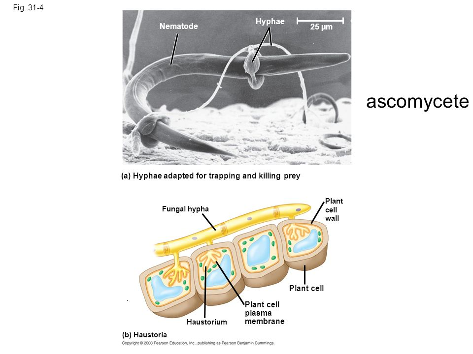 ascomycete Fig. 31-4 Hyphae Nematode 25 µm