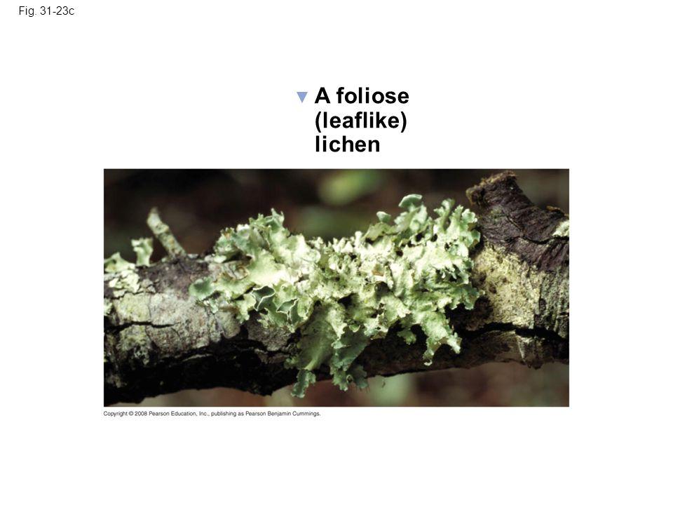 A foliose (leaflike) lichen Fig. 31-23c
