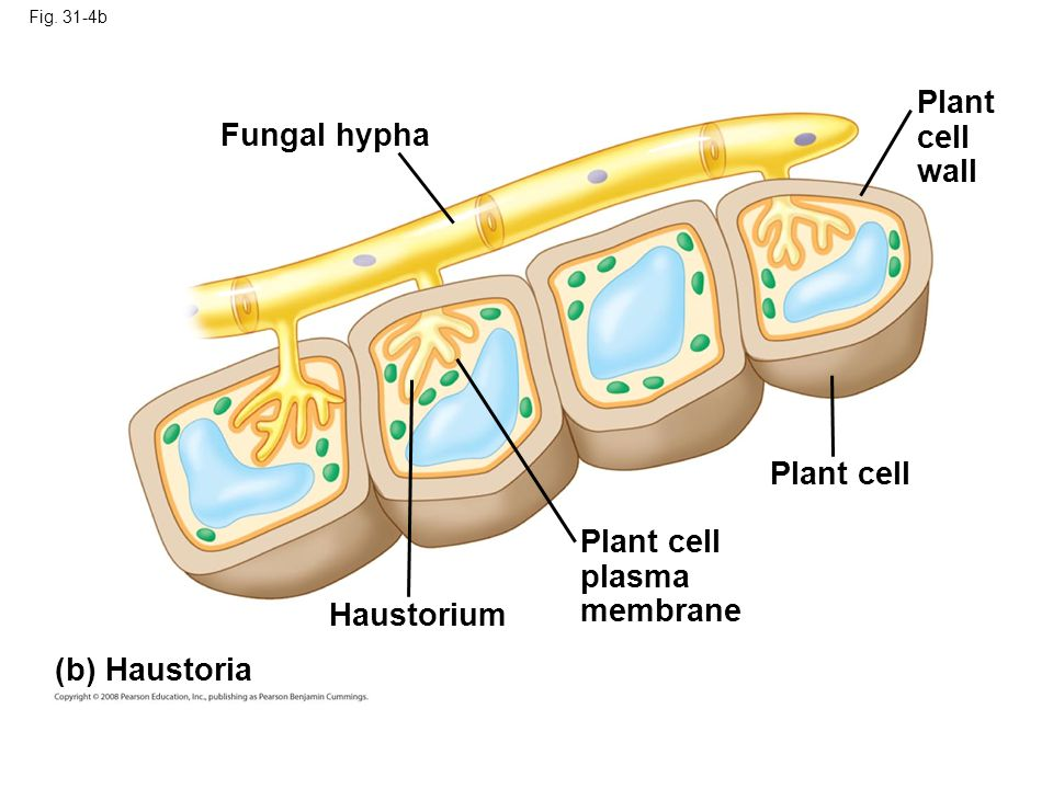 Plant cell Fungal hypha wall Plant cell Plant cell plasma membrane
