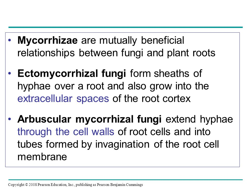 Mycorrhizae are mutually beneficial relationships between fungi and plant roots