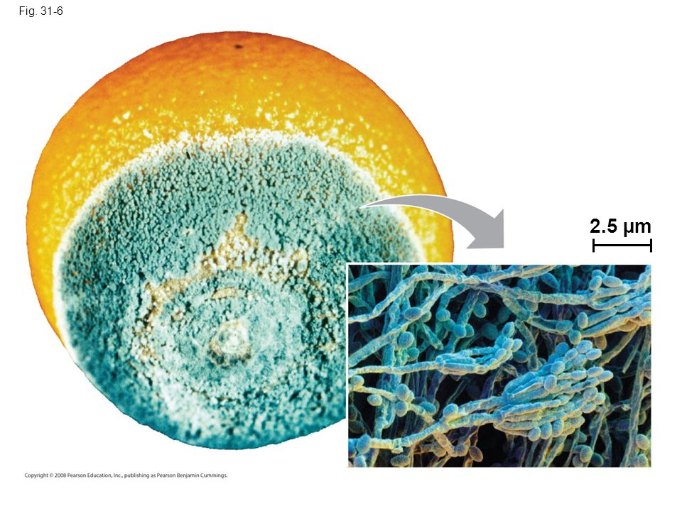 Fig. 31-6 2.5 µm Figure 31.6 Penicillium, a mold commonly encountered as a decomposer of food