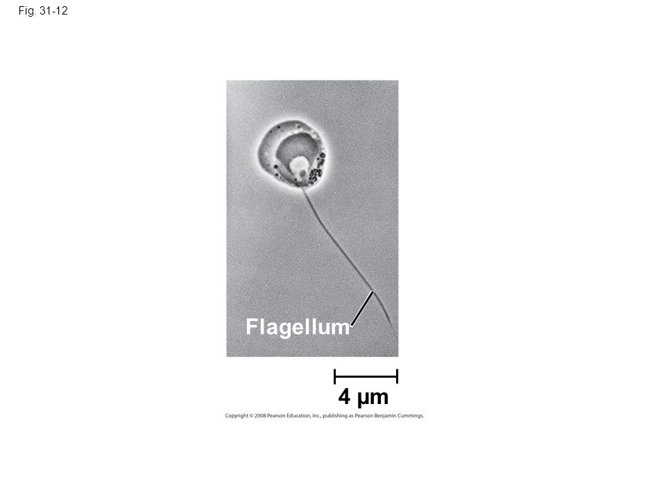 Fig. 31-12 Figure 31.12 Flagellated chytrid zoospore (TEM) Flagellum 4 µm