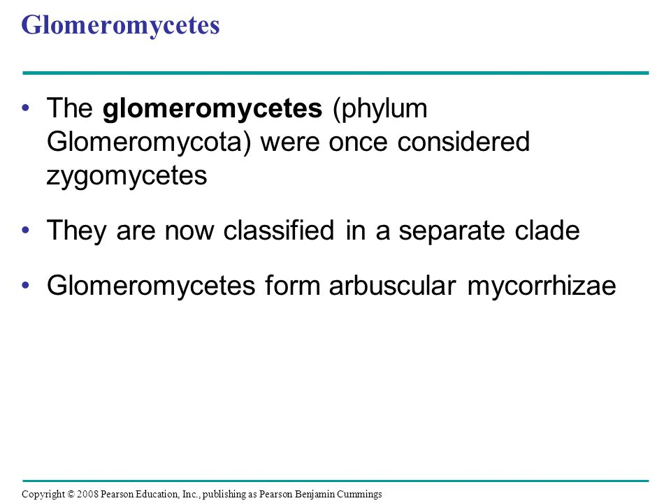 Glomeromycetes The glomeromycetes (phylum Glomeromycota) were once considered zygomycetes. They are now classified in a separate clade.