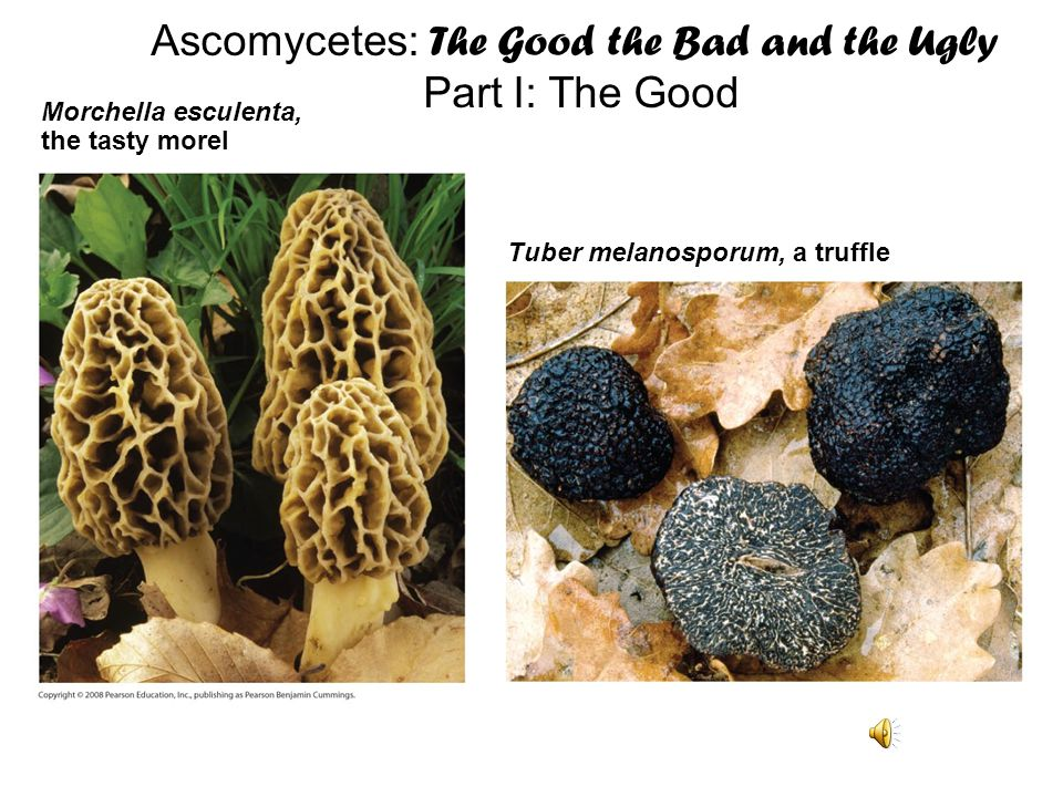 Ascomycetes: The Good the Bad and the Ugly
