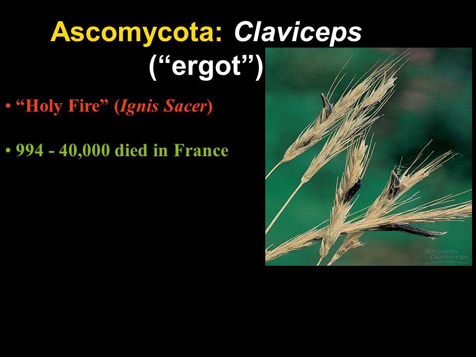 Ascomycota: Claviceps ( ergot )