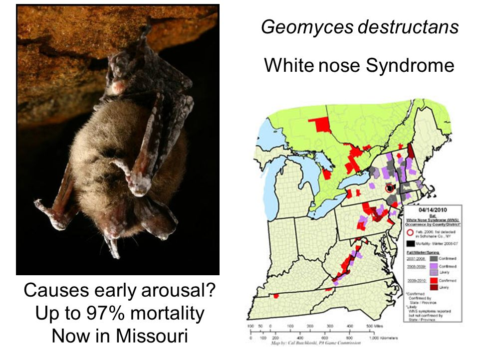 Geomyces destructans White nose Syndrome Causes early arousal Up to 97% mortality Now in Missouri