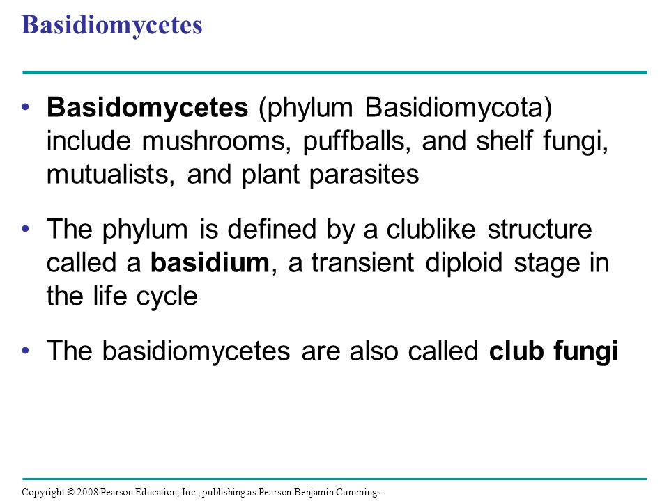 Basidiomycetes Basidomycetes (phylum Basidiomycota) include mushrooms, puffballs, and shelf fungi, mutualists, and plant parasites.