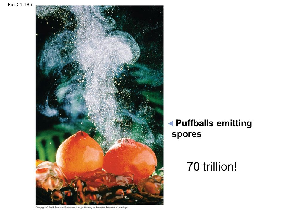 Puffballs emitting 70 trillion! spores Fig. 31-18b