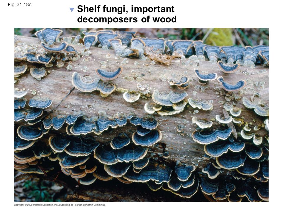 Shelf fungi, important decomposers of wood Fig. 31-18c