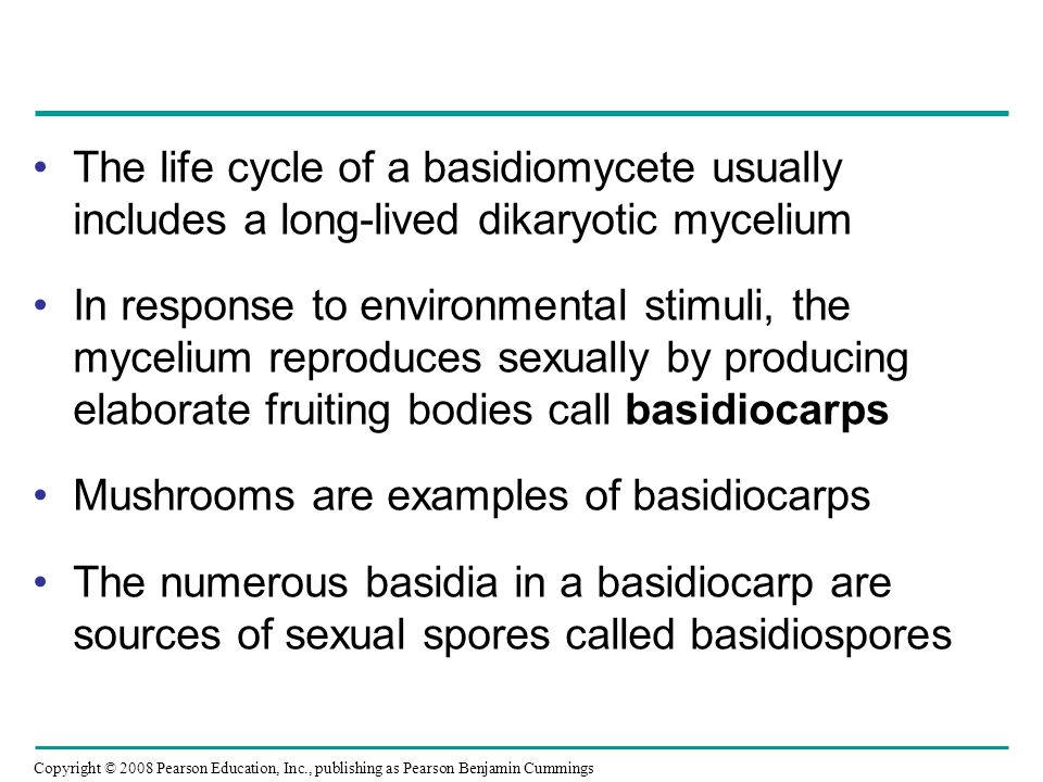 The life cycle of a basidiomycete usually includes a long-lived dikaryotic mycelium
