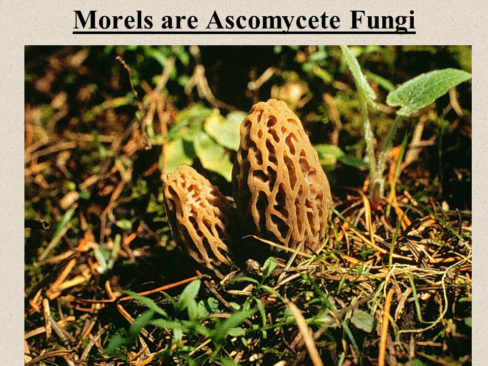 Morels are Ascomycete Fungi