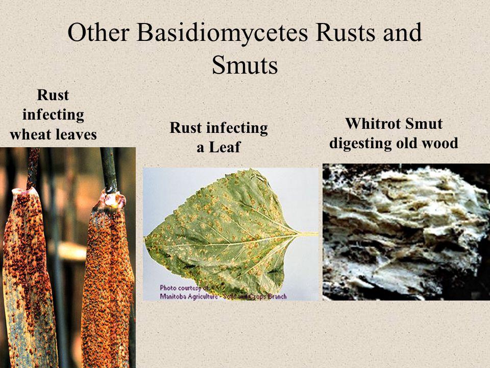Other Basidiomycetes Rusts and Smuts